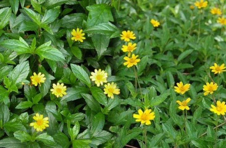 Cây sài đất được sử dụng làm vị thuốc trong Đông y có tác dụng tiêu viêm, kháng khuẩn