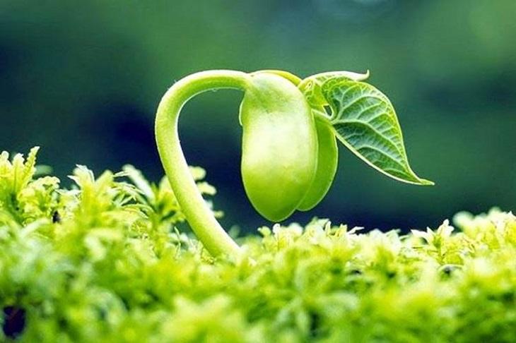 Isoflavone trong mầm đậu nành có tác dụng tương tự hormone estrogen trong cơ thể