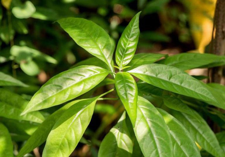 Chữa viêm đại tràng bằng cây hoàn ngọc được áp dụng rộng rãi trong dân gian