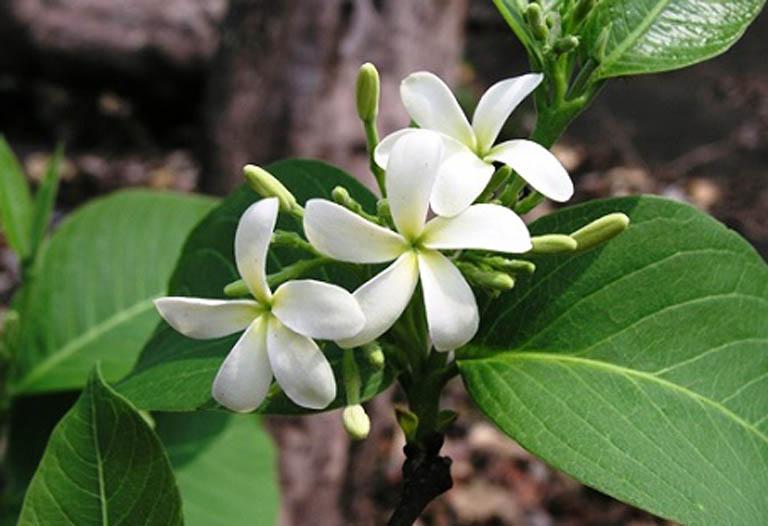 Giảm nhẹ các triệu chứng của bệnh viêm đại tràng bằng bài thuốc nam từ mộc hoa trắng