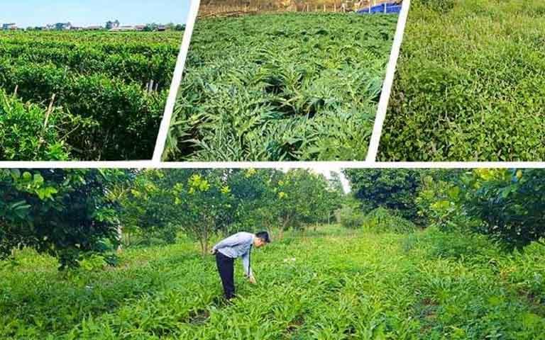 Quân dân 102 sở hữu vườn dược liệu sạch, đảm bảo sự an toàn và chất lượng thảo dược