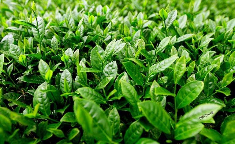 cách chữa bệnh trĩ bằng trà xanh