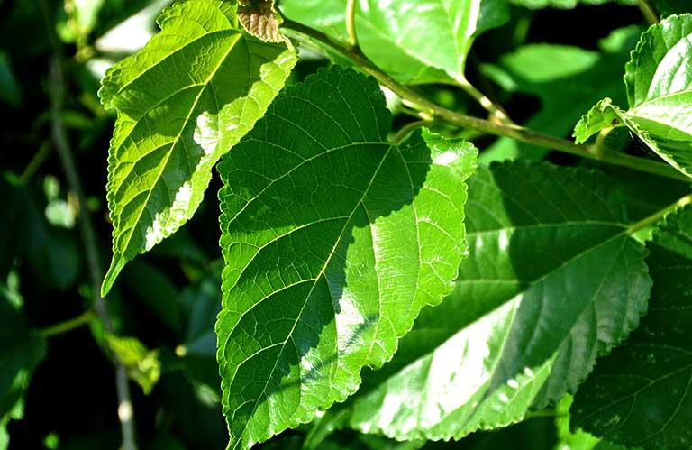 lá vông chữa bệnh trĩ
