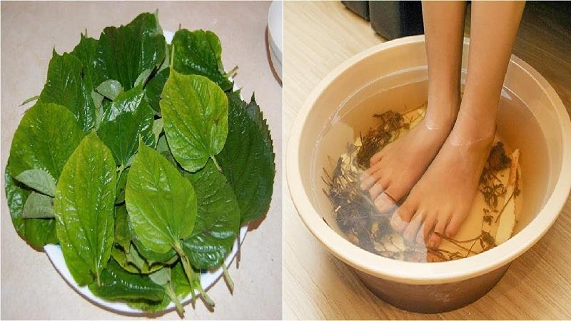 Ngâm chân bằng lá lốt chữa bệnh gout