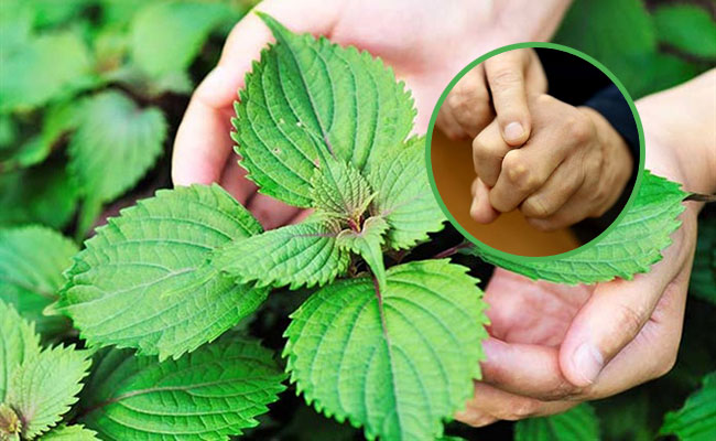 Sử dụng lá tía tô để điều trị bệnh gout
