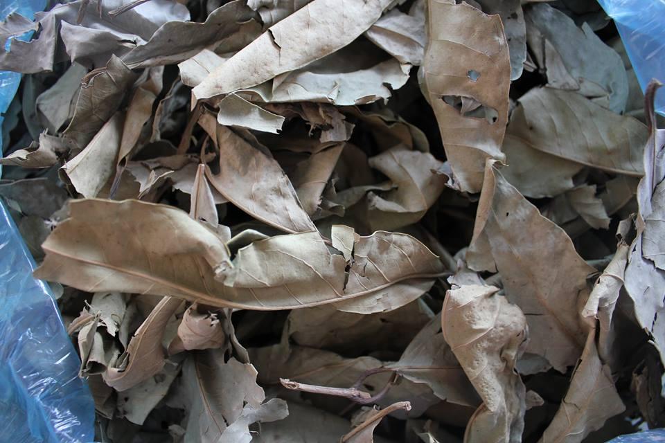 Bạn có thể ủ khô lá vối để sử dụng