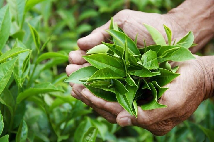 Cách trị sâu răng cho bà bầu từ lá trà xanh