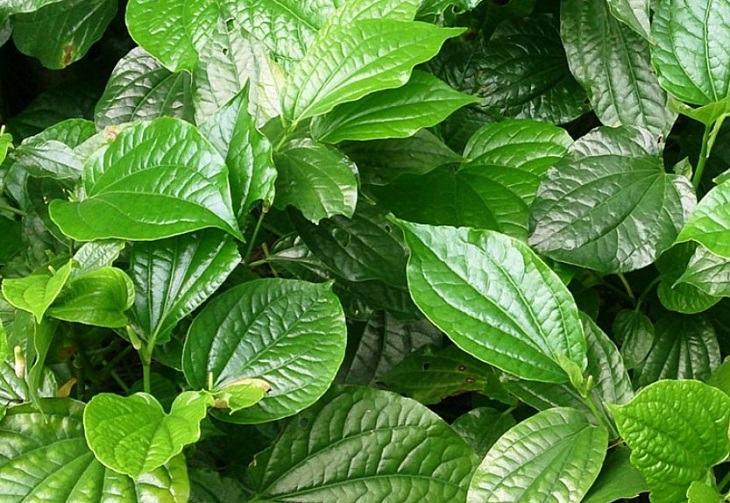 Lá lốt là một trong những thảo dược phổ biến chuyên trị các bệnh da liễu