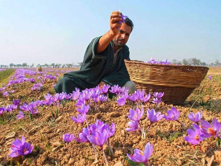 Saffron Vietfarm được thu hoạch thủ công vào sáng sớm
