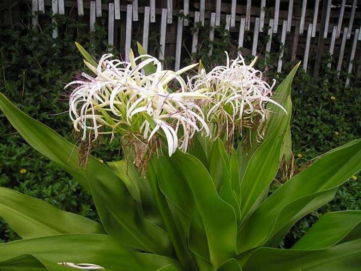 Trinh nữ hoàng cung là loại cây dược liệu được dùng phổ biến trong điều trị các bệnh phụ khoa