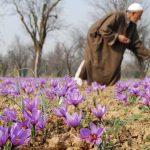 Nhụy hoa nghệ tây Ấn Độ có tốt không, giá bao nhiêu? Nên mua Saffron Ấn Độ hay Iran?