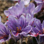 Nhụy hoa nghệ tây Dubai giá bao nhiêu? Nguồn gốc và chất lượng