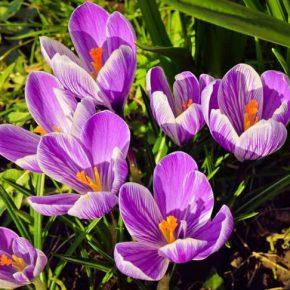 Saffron (nhuỵ hoa nghệ tây) - Phân loại, công dụng, cách dùng và giá bán chuẩn nhất