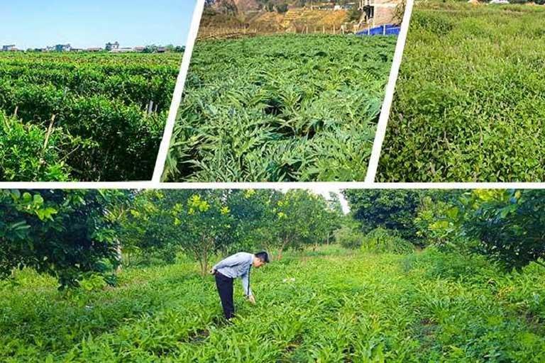Hệ thống vườn chuyên canh dược liệu do chính Quân dân 102 xây dựng và phát triển