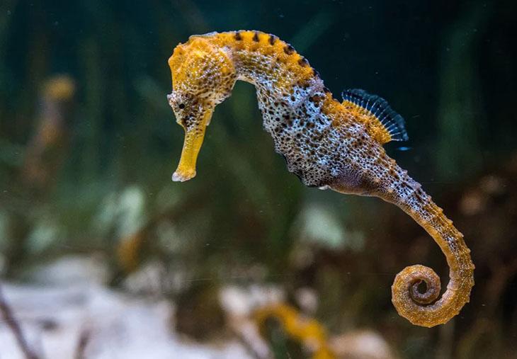 Thủy mã sinh sống ở các vùng biển nước mặn