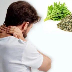 Cách chữa đau vai gáy bằng ngải cứu