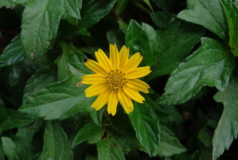 Sài đất là thảo dược có khả năng chống viêm rất tốt, có thể tận đụng để điều trị mụn nhọt