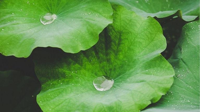 Dùng lá sen chữa mụn nhọt là mẹo được áp dụng rộng rãi trong dân gian