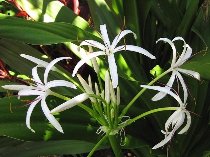 Cây náng hoa trắng có công dụng thông tiêu, kháng viêm hiệu quả
