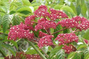 Cây Gối hạc thuộc họ Gối hạc, có tên khoa học là Leea rubra Blume