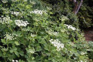 Hoa Phòng phong thường mọc thành cụm, có màu trắng và hình tán ghép